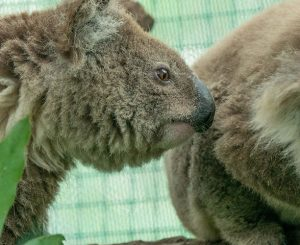 Growth strategies for charities-WIRES Case Study-image of koalas